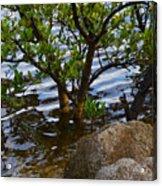 Mangroves And Coquina Acrylic Print