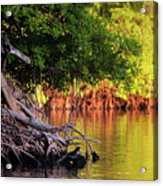 Mangroves Of Roatan Acrylic Print