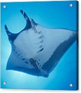 Manta Ray Acrylic Print