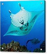 Manta Reef Acrylic Print