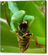 Mantis Munchies Acrylic Print