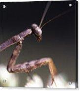 Mantis Pray Acrylic Print
