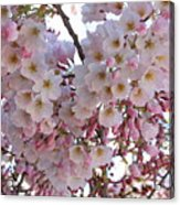 Many Pink Blossoms Acrylic Print