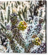 Many Stems Of Poky Small Cactus In Desert Acrylic Print