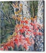 Maple And Birch -new England  Fall Acrylic Print