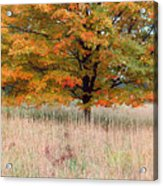 Maple And Tall Grass Acrylic Print