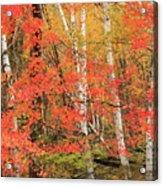 Maple Birch Forest In Autumn Acrylic Print