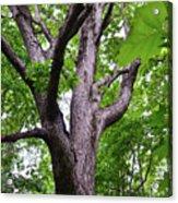 Maple Branches Acrylic Print