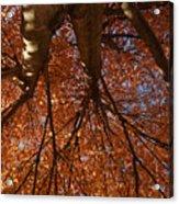 Maple Dreaming Acrylic Print