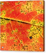Maple Leaf Detail Acrylic Print
