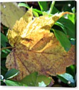 Maple Leaf Acrylic Print by Kathy DesJardins