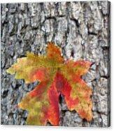 Maple Leaf On A Maple Tree Acrylic Print