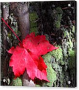 Maple Leaf Still Life Acrylic Print