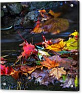 Maple Leaves-0001 Acrylic Print