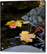 Maple Leaves-0006 Acrylic Print
