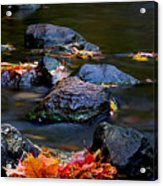 Maple Leaves-0007 Acrylic Print