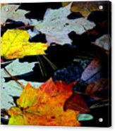 Maple Leaves-0011 Acrylic Print