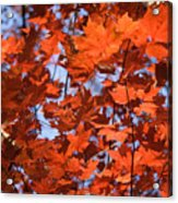 Maple Leaves Aglow Acrylic Print