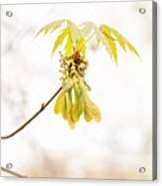Maple Leaves And Fruits Acrylic Print