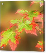 Maple Leaves Changing Acrylic Print