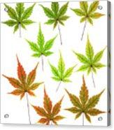 Maple Leaves Acrylic Print