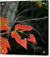 Maple Leaves Acrylic Print by Steven Scott