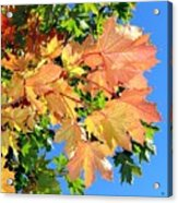 Maple Mania 1 Acrylic Print