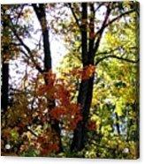Maple Mania 16 Acrylic Print