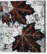 Maple Mania 17 Acrylic Print