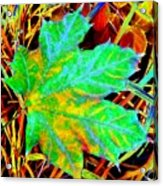 Maple Mania 21 Acrylic Print