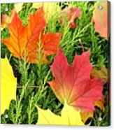 Maple Mania 5 Acrylic Print
