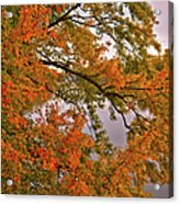 Maple Over The River Acrylic Print