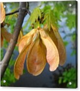 Maple Seeds In May Acrylic Print