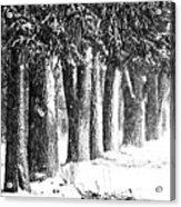 Maple Street Maples Acrylic Print