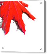 Maple Acrylic Print