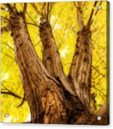 Maple Tree Portrait 2 Acrylic Print