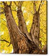 Maple Tree Portrait Acrylic Print