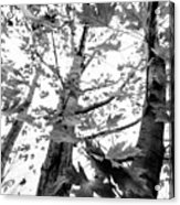 Maple Trees In Black And White Acrylic Print