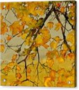 Maples In Autumn Acrylic Print by Carolyn Doe
