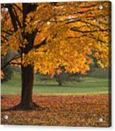 Maples Trees In Fall Acrylic Print