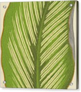 Maranta Alba Lineata Acrylic Print