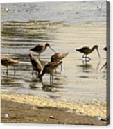 Marbled Godwit Birds At Sunset Acrylic Print