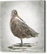 Marbled Godwit Acrylic Print