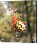 Marbled Orb Weaver Acrylic Print
