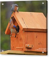 March 2017 Bluebird Lunch 01 Acrylic Print