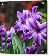 March Hyacinths Acrylic Print