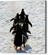 March Of Penguins Acrylic Print
