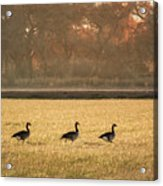 March Of The Geese Acrylic Print