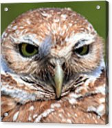 Marco Burrowing Owl - I Know What You're Thinking Acrylic Print