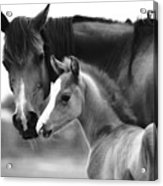 Mare And Foal In Black And White Acrylic Print